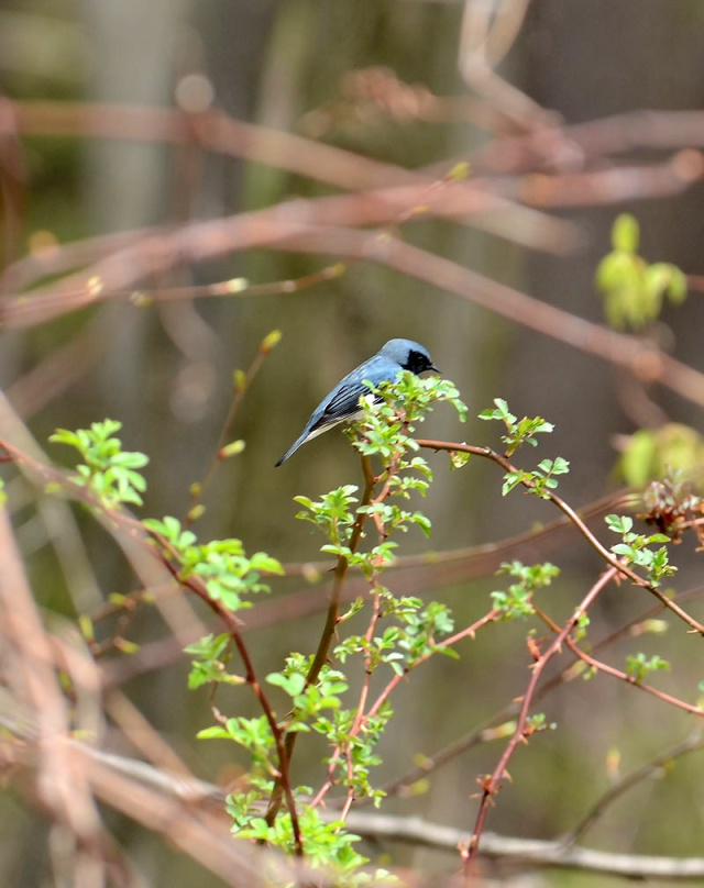 Black-throated-Blue-Warbler copy