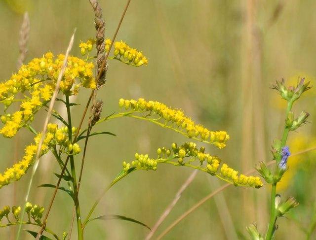 Meadow-Plants