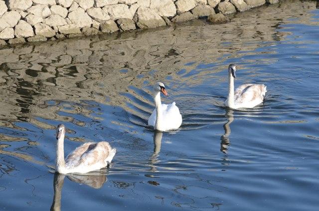 Swan-Family