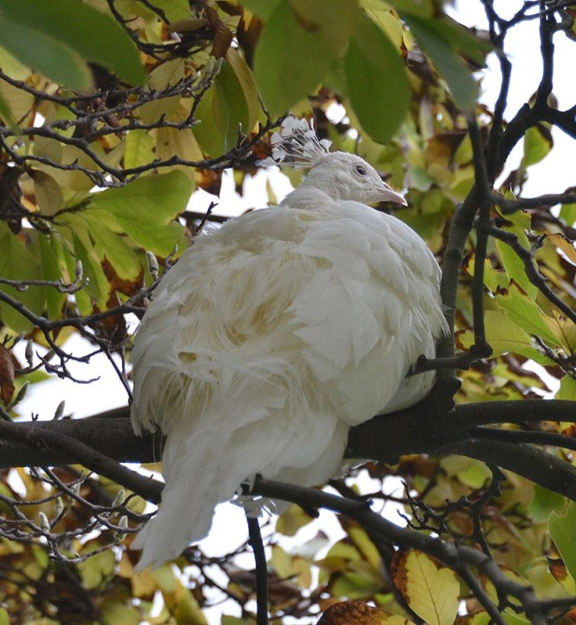 White-Peacock-in-Tree