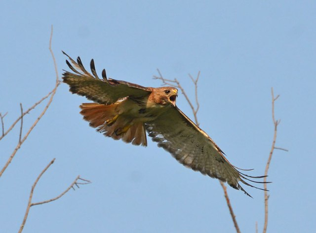 Angry-redTail