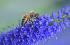 Bee-on-Verbena