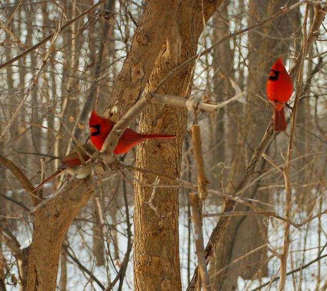 cardinal-5