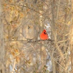 Cardinal-in-January