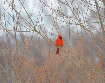 Cardinal-in-Thickets