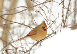 cardinal-in-woods