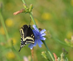 Chickory and swallowtail