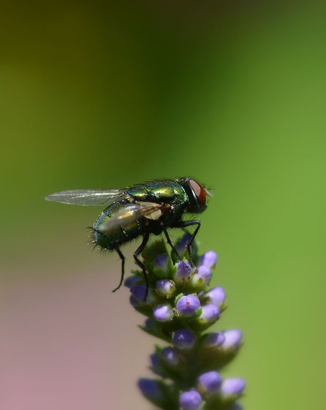 Fly-on-Pink-and-Green