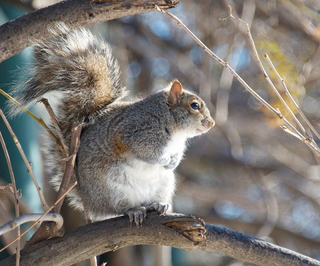 FrontLit-Squirrel