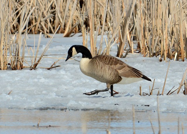 goose-on-the-go
