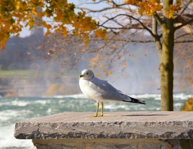 Gull-at-Falls