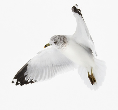 gull-floating1