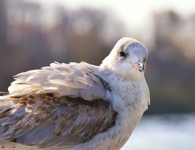Gull-Posing