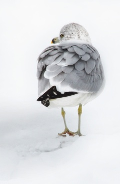 gull-standing-in-snow