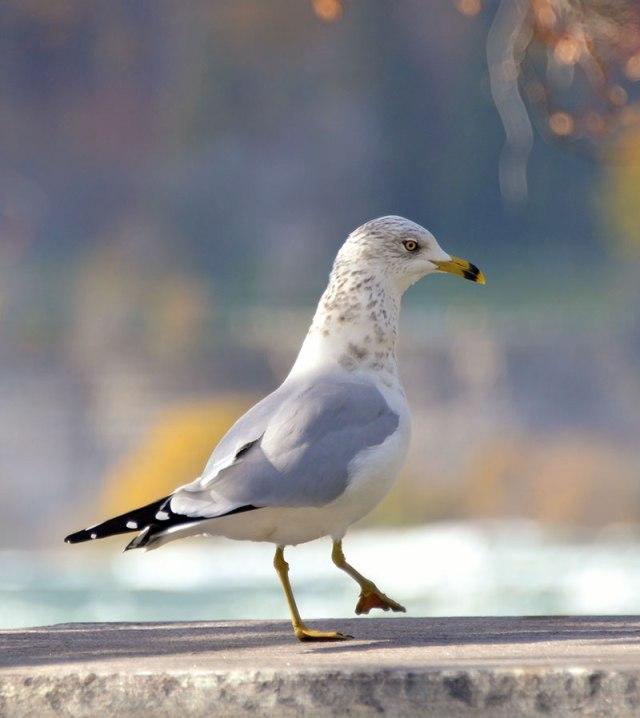 Gull-Strut
