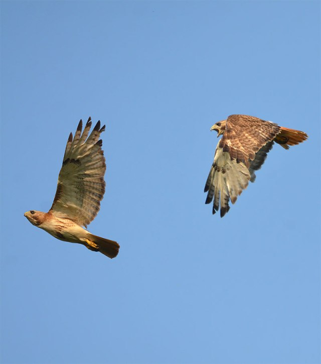 Hawk-fight