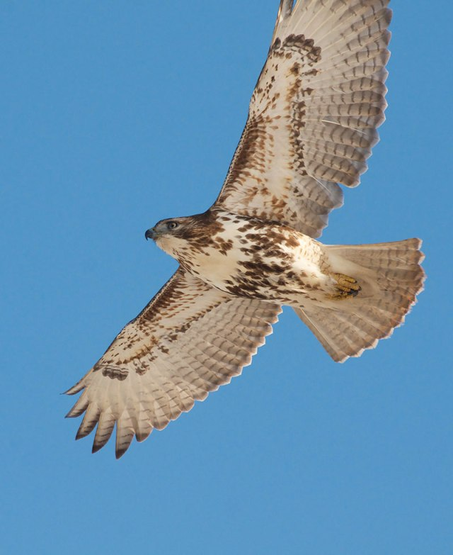Hawk-in-Flight