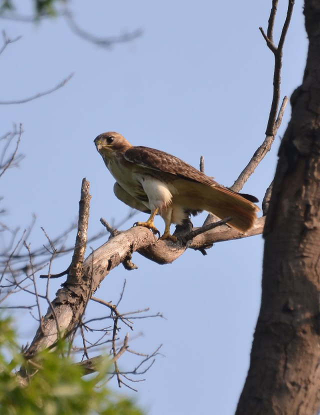 Hawk-in-Tree-3