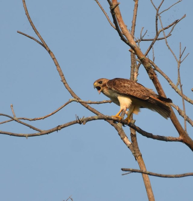 Hawk-in-Tree