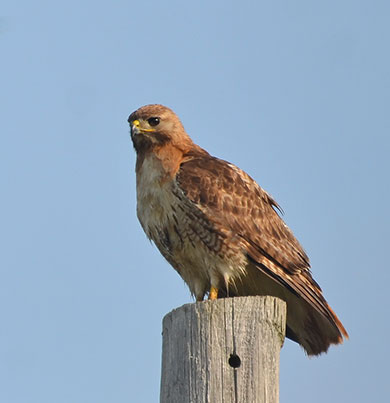 Hawk-on-Pole