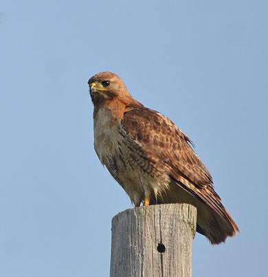 Hawk-on-Pole