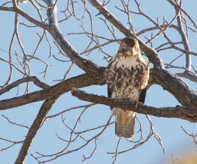 Hawk11-21-14-2