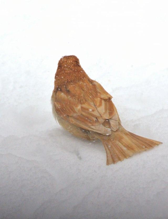 Leucistic-Sparrow-1