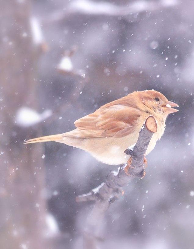 Leucistic-Sparrow-2