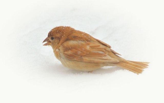 Leucistic-Sparrow-foraging
