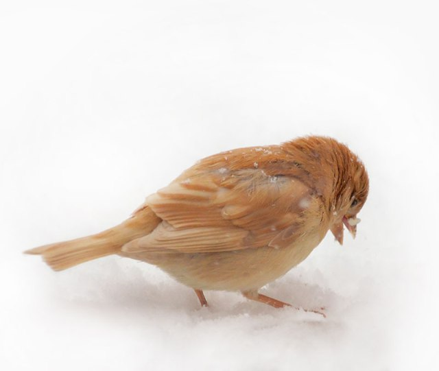 Leucistic-Sparrow-on-Snow
