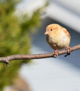 Leucistic-Sparrow-Spring