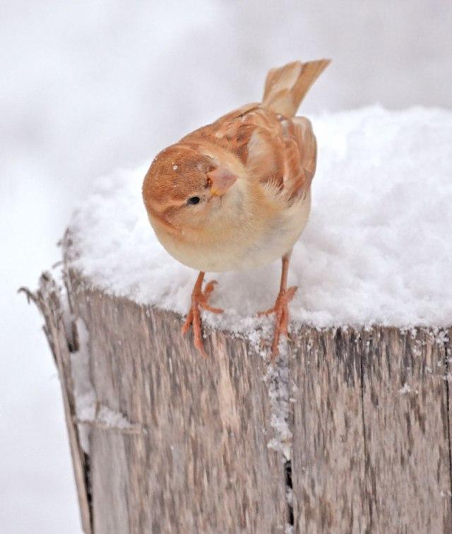 Leucistic-Sparrow