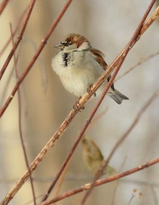 Male-house-sparrow