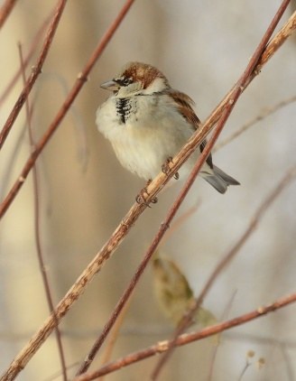 Male-house-sparrow