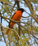 Oriole-Cropped