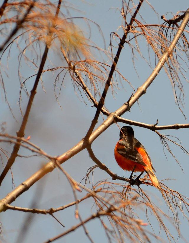Oriole-in-Spring