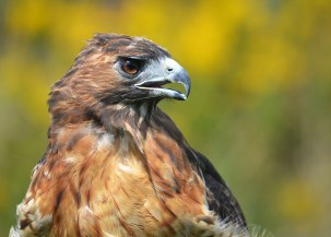 red_tailed