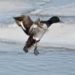 scaup-on-landing