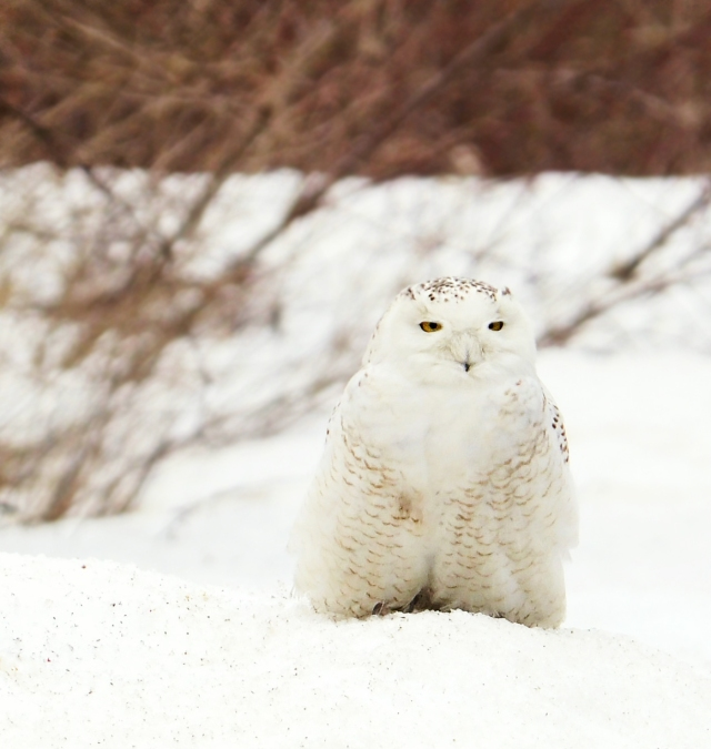 snowy-Owl-Late-March