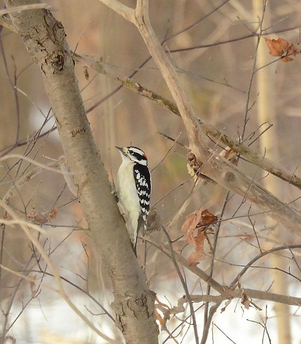 woodpecker-nf