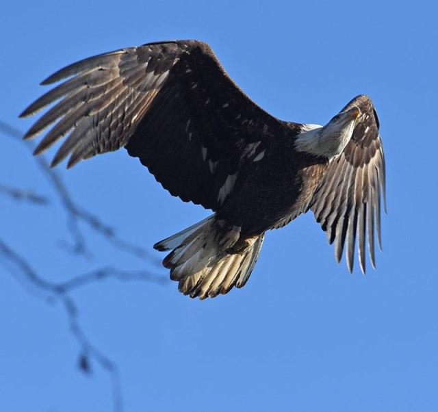 Adult-Eagle12-27-14