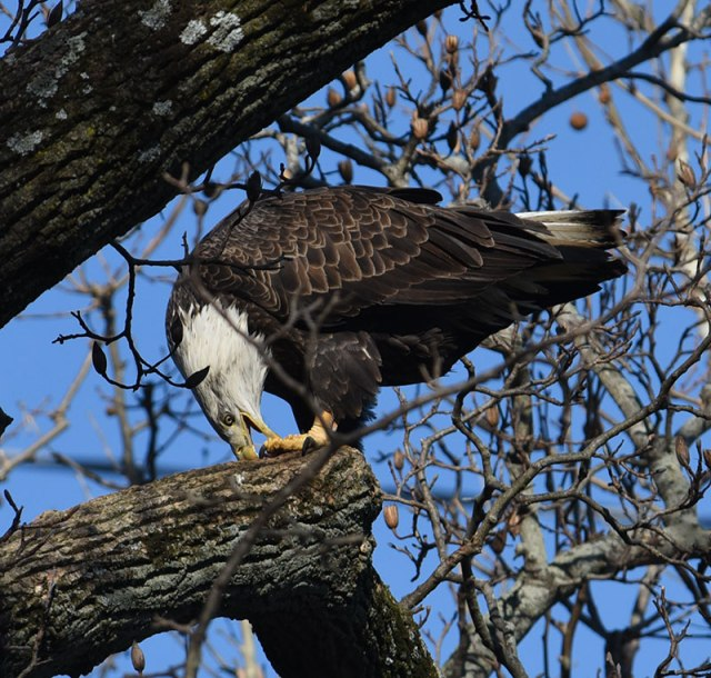 Bald-Eagle-Eating