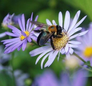 carpenter-bee