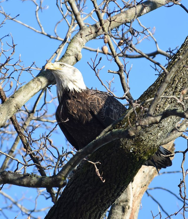 Eagle-in-Tree-2