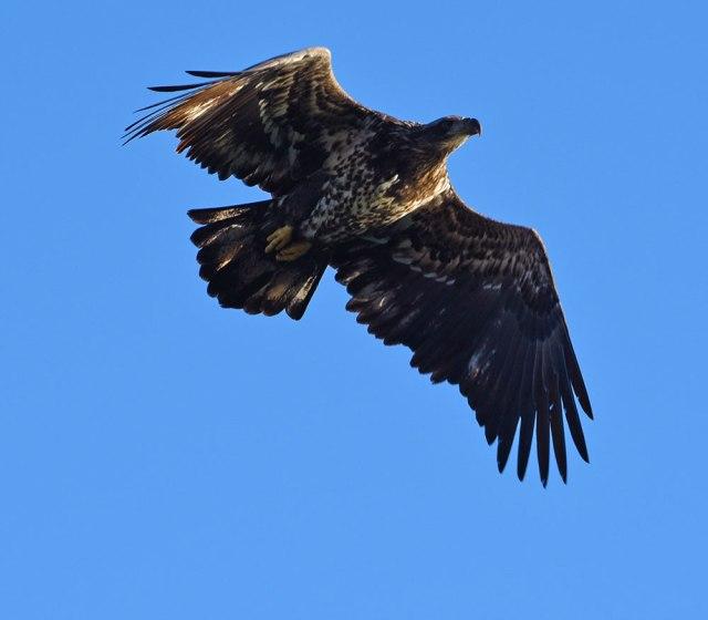 Eagle-Overhead-1