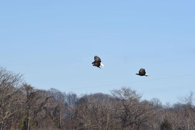 Eagle-Pursuit