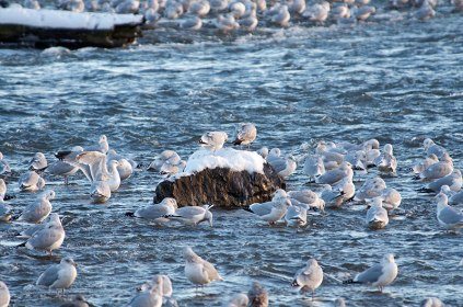 Guls-and-more-Gulls