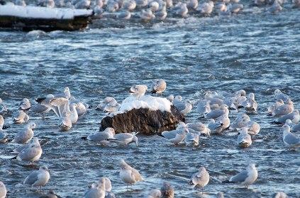 Guls-and-more-Gulls