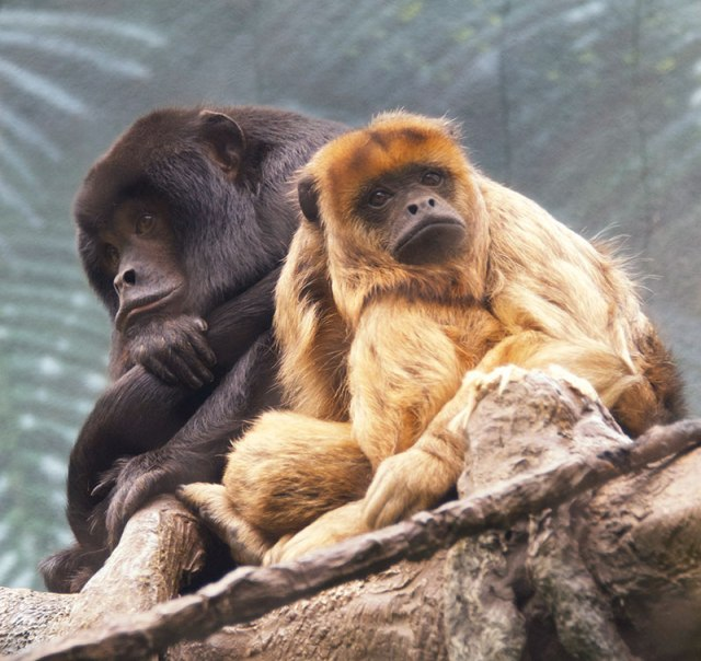 Howler-and-Tamarin