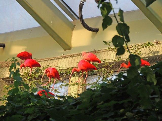 Ibis-flock